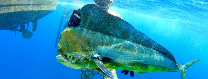 spearfishing reasons and gear mahi mahi dolphin dodo underwater