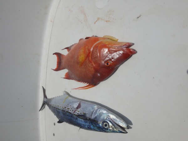 Hogfish and Mackerel