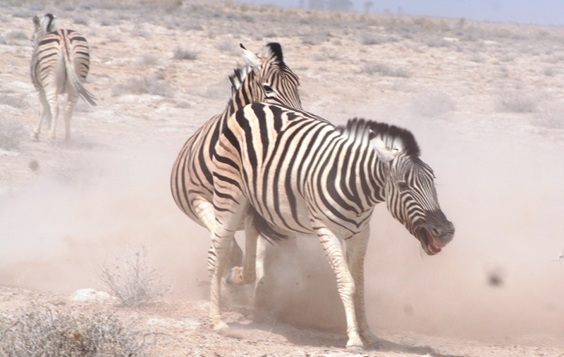 Zebra fights