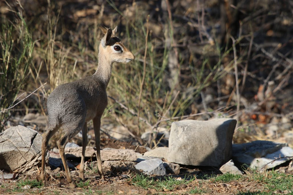 Smallest antelope in Namibia