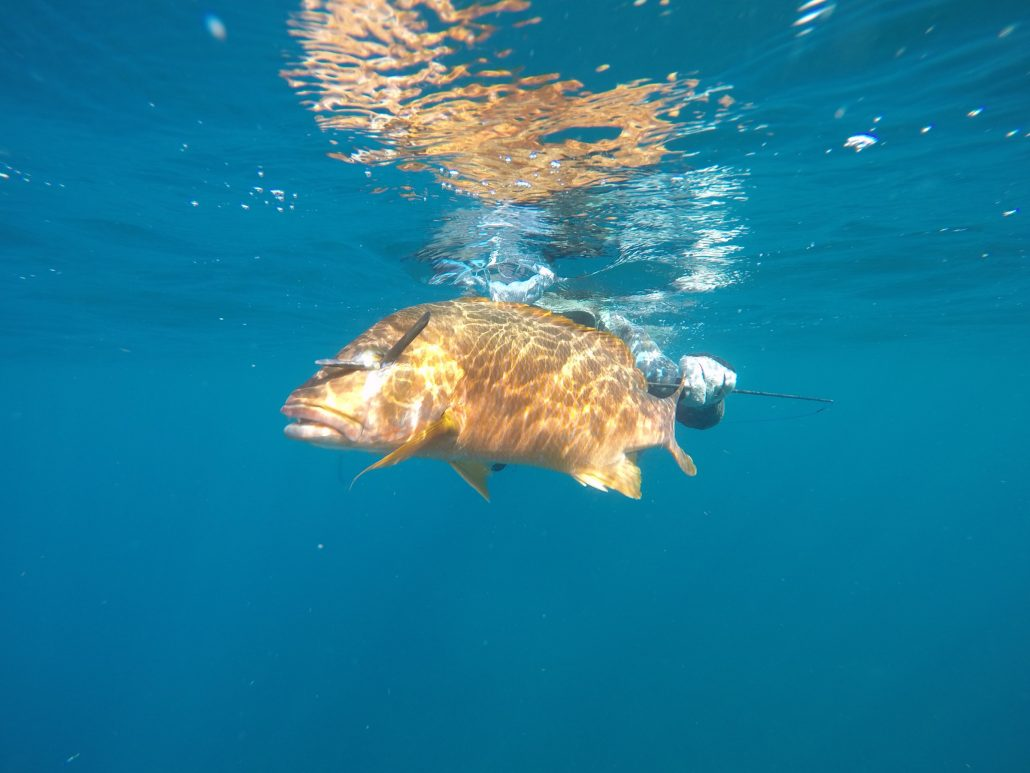 Dog Snapper Spearfishing in San Blas